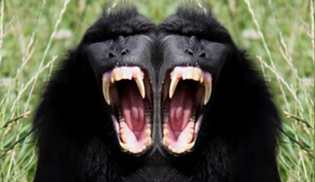 Sulawesi Crested Macaque, black monkey. Image shot 2011. Exact date unknown.