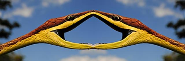 Mexican vine snake (Oxybelis aeneus), threatening posture with open mouth, Honduras, La Mosquitia, Las Marias